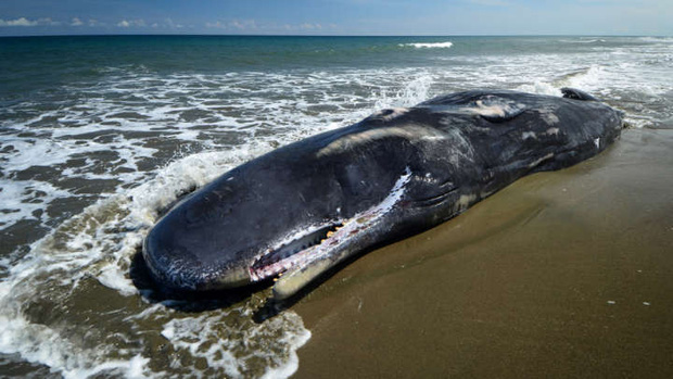Đây là thảm họa có thể xảy ra nếu bạn lại gần một xác cá voi dạt bờ và câu chuyện về quả bom khổng lồ kỳ lạ nhất lịch sử - Ảnh 4.