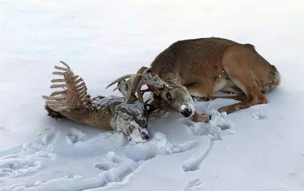 Thiên nhiên kinh dị: Hươu đực lang thang với đầu lâu của đối thủ treo lủng lẳng trên sừng mình - Ảnh 3.