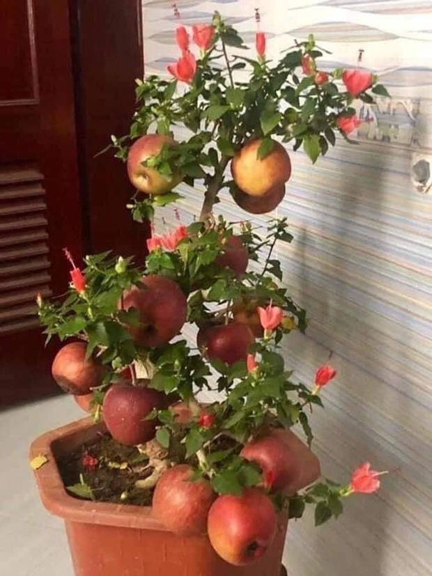 """Gia đình bỏ hơn 1 triệu mua cây táo chơi Tết, 3 ngày sau cây nở ra… hoa dâm bụt khiến khách vừa """"khen đểu"""" vừa cười tắc thở - Ảnh 1."""