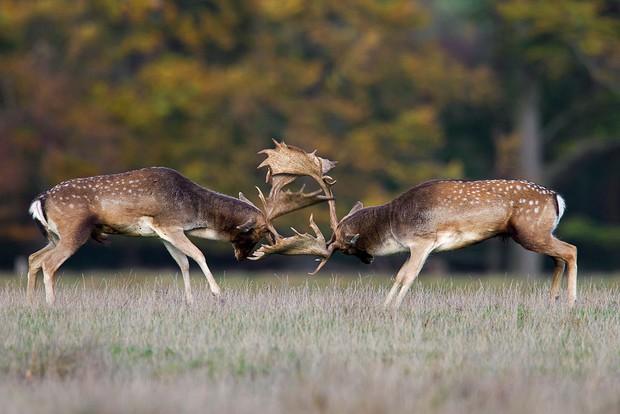 Thiên nhiên kinh dị: Hươu đực lang thang với đầu lâu của đối thủ treo lủng lẳng trên sừng mình - Ảnh 4.