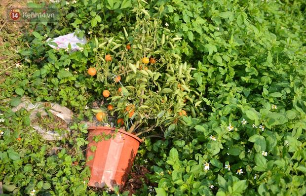 Ảnh: Hàng nghìn cây quất bonsai bạc triệu vẫn nằm im ở vườn, nông dân chẳng buồn ra đồng vì ngồi trên đống nợ - Ảnh 4.