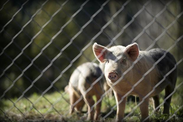 Huawei chuyển sang chăn nuôi lợn, áp dụng cả công nghệ nhận diện khuôn mặt - Ảnh 2.