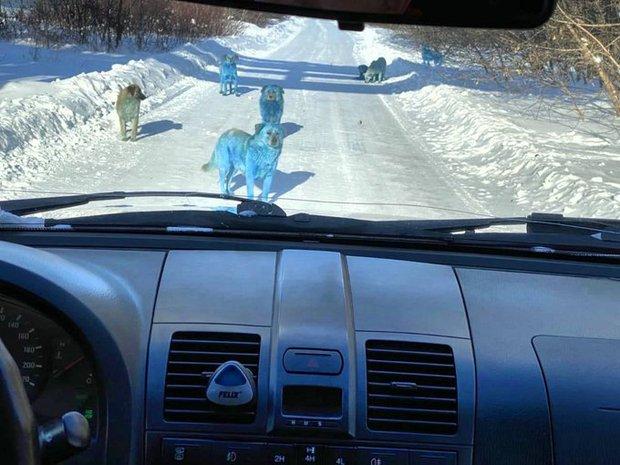 Băng đảng chó Nga khiến du khách hết hồn vì chặn đầu xe với bộ lông xanh lè - Ảnh 1.
