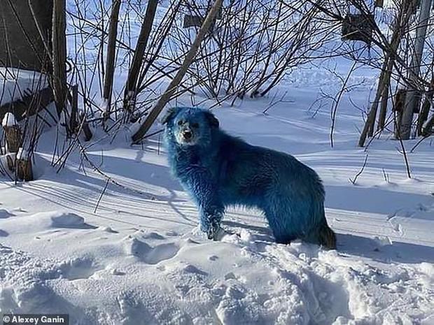 Băng đảng chó Nga khiến du khách hết hồn vì chặn đầu xe với bộ lông xanh lè - Ảnh 2.