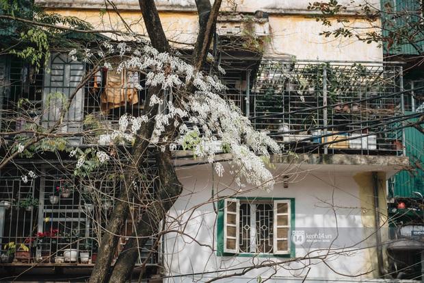 Có một mùa hoa độc quyền Hà Nội, những ngày này phủ trắng khắp nơi như tuyết nhiệt đới - Ảnh 2.