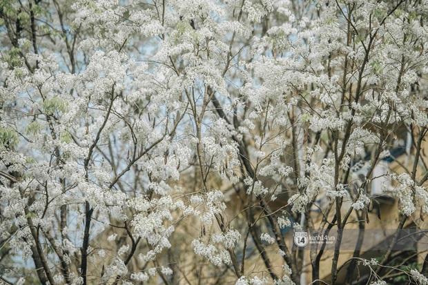 Có một mùa hoa độc quyền Hà Nội, những ngày này phủ trắng khắp nơi như tuyết nhiệt đới - Ảnh 6.
