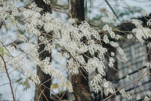 Có một mùa hoa độc quyền Hà Nội, những ngày này phủ trắng khắp nơi như tuyết nhiệt đới - Ảnh 1.