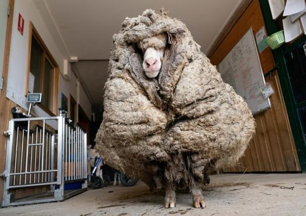 Cụ cừu hoang với bộ lông to sụ nặng 35kg, nhìn như khoác chăn bông khiến nhiều người hiếu kỳ đã lột xác ngoạn mục với vẻ ngoài mới gây sốt - Ảnh 1.