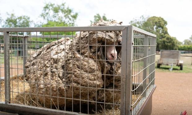 Cụ cừu hoang với bộ lông to sụ nặng 35kg, nhìn như khoác chăn bông khiến nhiều người hiếu kỳ đã lột xác ngoạn mục với vẻ ngoài mới gây sốt - Ảnh 2.