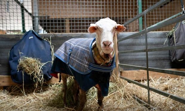 Cụ cừu hoang với bộ lông to sụ nặng 35kg, nhìn như khoác chăn bông khiến nhiều người hiếu kỳ đã lột xác ngoạn mục với vẻ ngoài mới gây sốt - Ảnh 3.