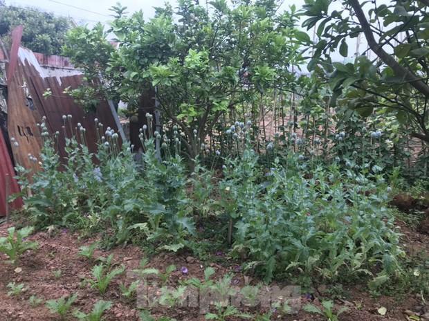 Bắc Giang: Nhiều hộ trồng cây thuốc phiện để làm rau ăn - Ảnh 1.