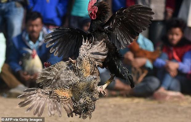 Chọi gà bất hợp pháp, người đàn ông bị gà cưng đá vào háng tử vong - Ảnh 3.