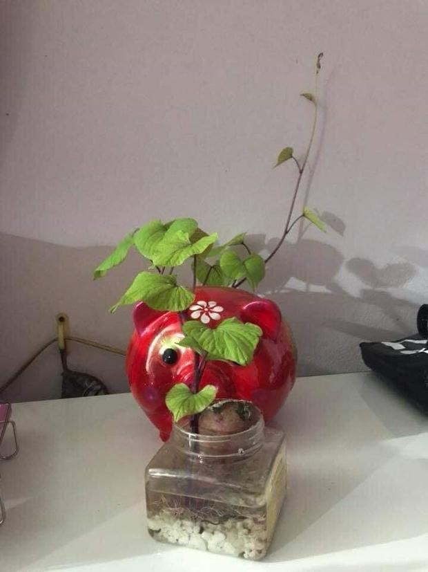 Không phải hoa đào, hoa mai, đây mới chính là những loại cây chưng ngày Tết đậm chất sinh viên Học viện Nông nghiệp - Ảnh 7.
