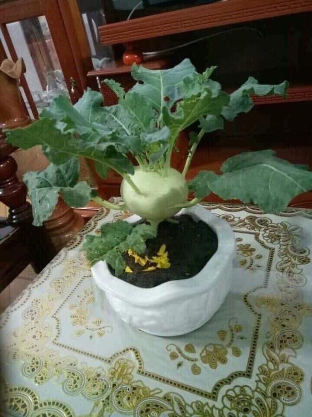 Không phải hoa đào, hoa mai, đây mới chính là những loại cây chưng ngày Tết đậm chất sinh viên Học viện Nông nghiệp - Ảnh 5.