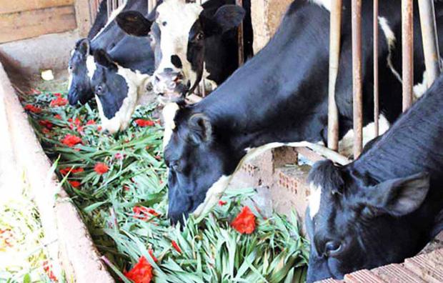Giá hoa rẻ hơn cỏ voi, chính quyền kêu gọi giải cứu lay ơn - Ảnh 1.