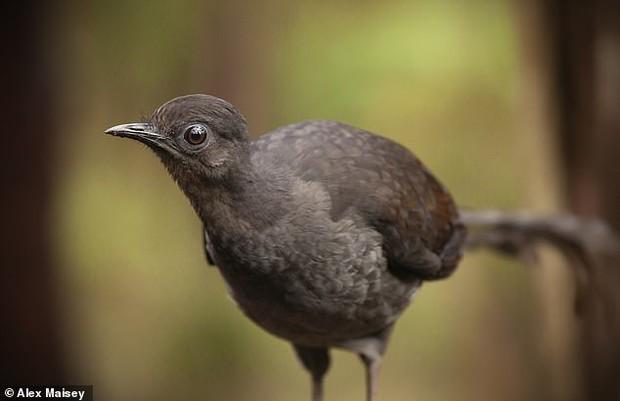 Loài chim có phong cách tán gái vô địch thiên hạ: Khi tình yêu rốt cục cũng chỉ là một cú lừa cay đắng - Ảnh 3.