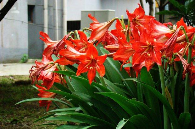 8 loại cây đẹp mà độc không nên trồng trong nhà kẻo rước bệnh và vận xui vào người - Ảnh 4.