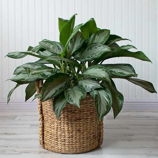 4 loại cây hợp với người mệnh Thuỷ, trồng trong nhà sẽ có thêm vượng khí - Ảnh 3.