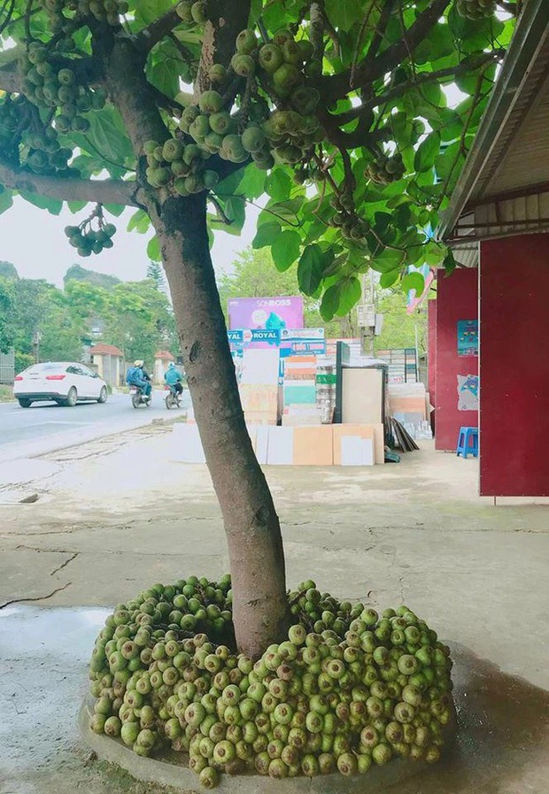 Khi cây trái ở Việt Nam ra hoa kết quả vượt ngoài quy luật tự nhiên, đến cả người trồng cũng sửng sốt không tin - Ảnh 11.