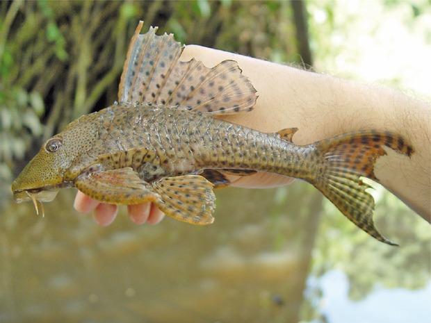 """Việt Nam có 5 loại cá được xem là đặc sản nức tiếng, nhìn thì """"sợ bỏ chạy"""" nhưng ăn rồi mới thấy cực ngon! - Ảnh 3."""