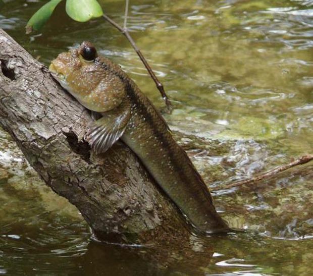 """Việt Nam có 5 loại cá được xem là đặc sản nức tiếng, nhìn thì """"sợ bỏ chạy"""" nhưng ăn rồi mới thấy cực ngon! - Ảnh 7."""