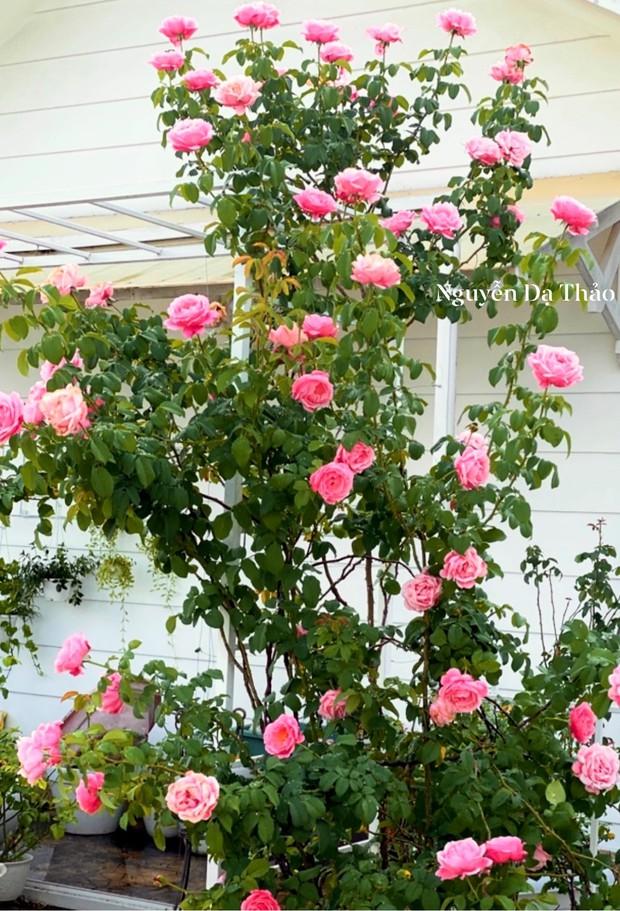 Sở hữu vườn hồng cả trăm gốc, bà xã Quyền Linh chia sẻ bí quyết trồng hoa ít sâu bệnh, đẹp phát hờn - Ảnh 6.