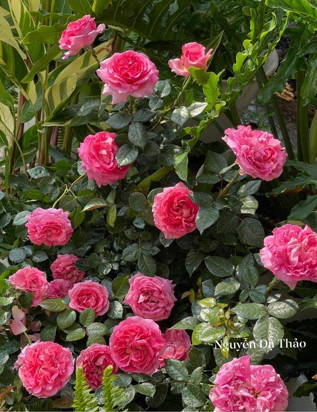 Sở hữu vườn hồng cả trăm gốc, bà xã Quyền Linh chia sẻ bí quyết trồng hoa ít sâu bệnh, đẹp phát hờn - Ảnh 3.