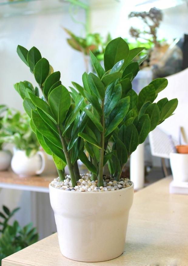 3 loại cây là khắc tinh của phòng ngủ, chớ mua kẻo rước bệnh tật và vận xui vào người - Ảnh 2.