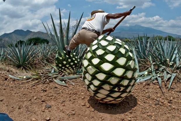 Sửng sốt trước loại quả trông y hệt dứa khổng lồ, hoá ra là nguyên liệu tạo nên thứ đồ uống ngon nức tiếng trên thế giới - Ảnh 2.