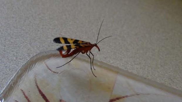 Đang dọn nhà thì phát hiện bọ cạp bay kinh dị, gia chủ thiếu điều bỏ của chạy lấy người - Ảnh 4.