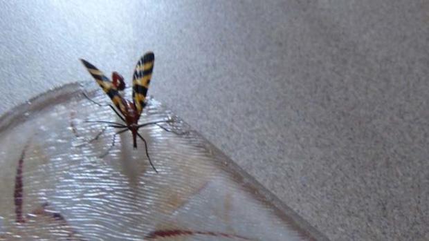 Đang dọn nhà thì phát hiện bọ cạp bay kinh dị, gia chủ thiếu điều bỏ của chạy lấy người - Ảnh 2.