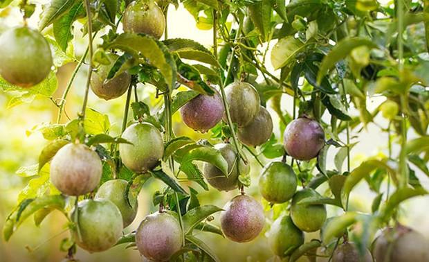 3 loại quả ở Việt Nam mọc dại đầy đường, sang nước ngoài thành của ngon vật lạ bán trong siêu thị gần 1 triệu đồng/kg - Ảnh 3.