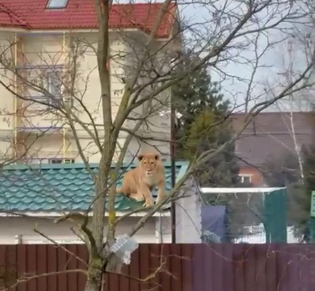 Người dân run rẩy quay video cảnh sư tử ngồi chễm chệ trên mái nhà phơi nắng, câu chuyện ngang ngược phía sau khiến dân mạng há hốc - Ảnh 2.