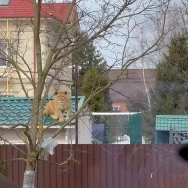 Người dân run rẩy quay video cảnh sư tử ngồi chễm chệ trên mái nhà phơi nắng, câu chuyện ngang ngược phía sau khiến dân mạng há hốc - Ảnh 3.