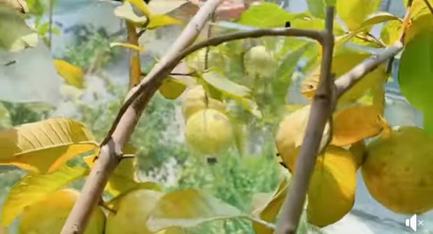 Lý Hải - Minh Hà trồng cây trên sân thượng mà thu hoạch nặng trĩu tay, phải đăng đàn ai ăn thì biếu bớt lấy thảo - Ảnh 3.