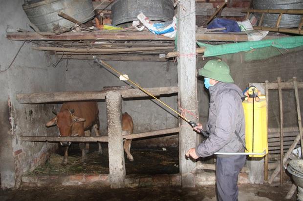 Trâu bò ở Nghệ An và Hà Tĩnh xuất hiện bệnh lạ hàng loạt, nổi u cục sần sùi trên toàn thân - Ảnh 4.