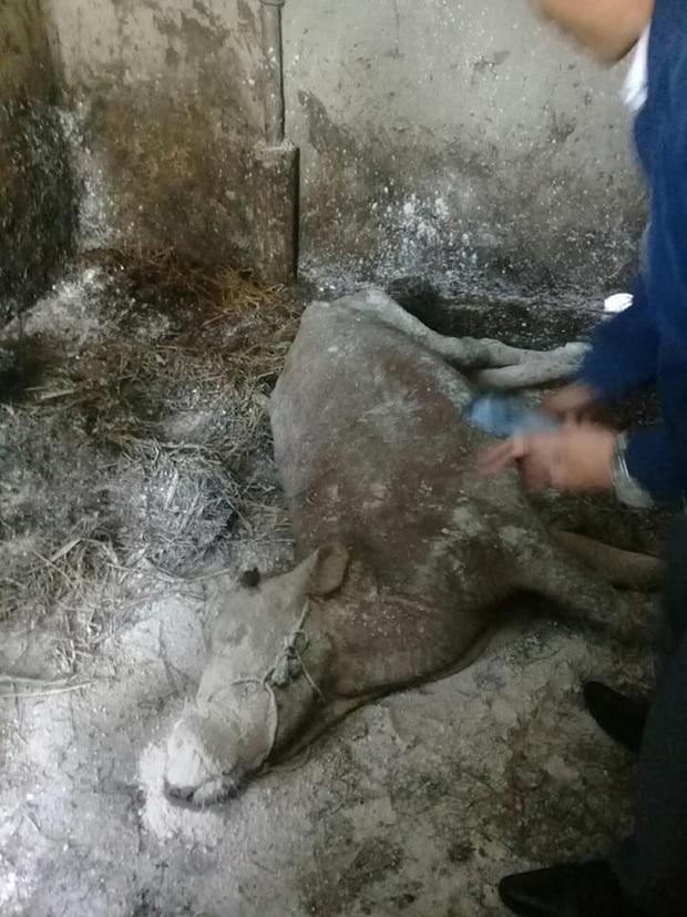 Trâu bò ở Nghệ An và Hà Tĩnh xuất hiện bệnh lạ hàng loạt, nổi u cục sần sùi trên toàn thân - Ảnh 7.