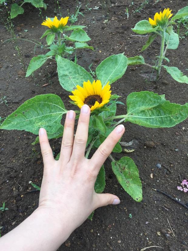 Những bé cây ra hoa kết trái vượt khỏi quy luật tự nhiên: Hướng dương cao không tới 1 gang tay, hoa chuối chia năm xẻ bảy và hơn thế nữa! - Ảnh 1.