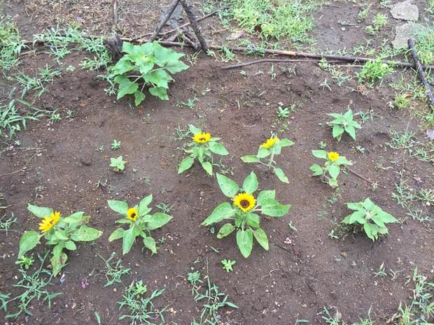 Những bé cây ra hoa kết trái vượt khỏi quy luật tự nhiên: Hướng dương cao không tới 1 gang tay, hoa chuối chia năm xẻ bảy và hơn thế nữa! - Ảnh 2.
