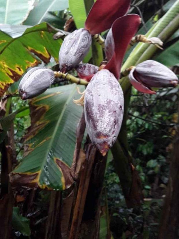 Những bé cây ra hoa kết trái vượt khỏi quy luật tự nhiên: Hướng dương cao không tới 1 gang tay, hoa chuối chia năm xẻ bảy và hơn thế nữa! - Ảnh 6.