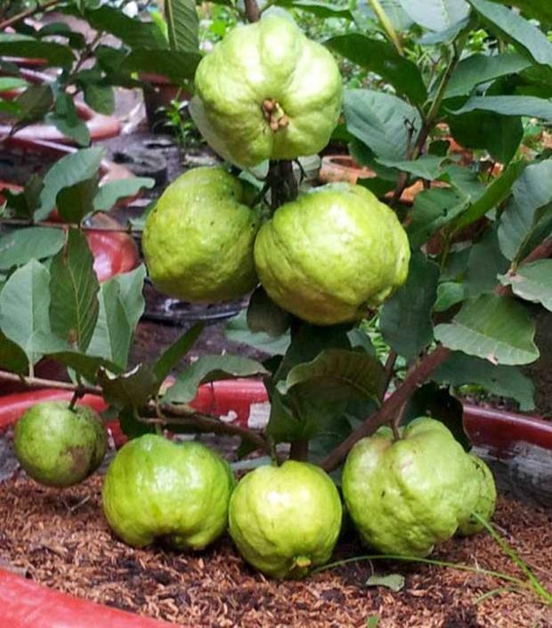 Những bé cây ra hoa kết trái vượt khỏi quy luật tự nhiên: Hướng dương cao không tới 1 gang tay, hoa chuối chia năm xẻ bảy và hơn thế nữa! - Ảnh 7.