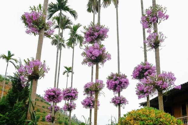 Cận cảnh vườn lan tím tuyệt đẹp treo trên hàng cây cau khiến ai cũng phải trầm trồ thích thú - Ảnh 3.