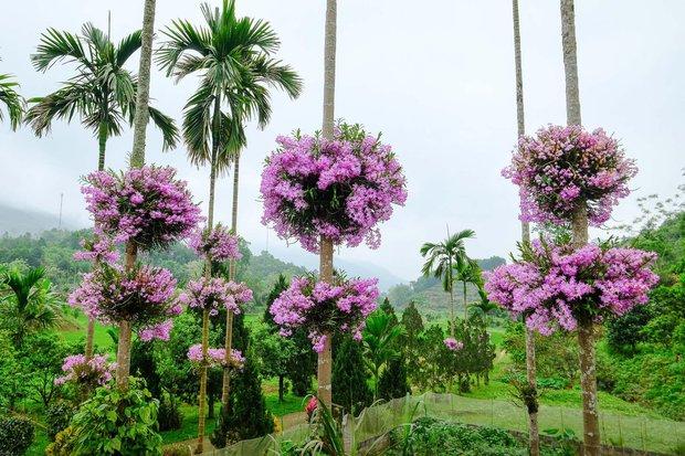 Cận cảnh vườn lan tím tuyệt đẹp treo trên hàng cây cau khiến ai cũng phải trầm trồ thích thú - Ảnh 2.