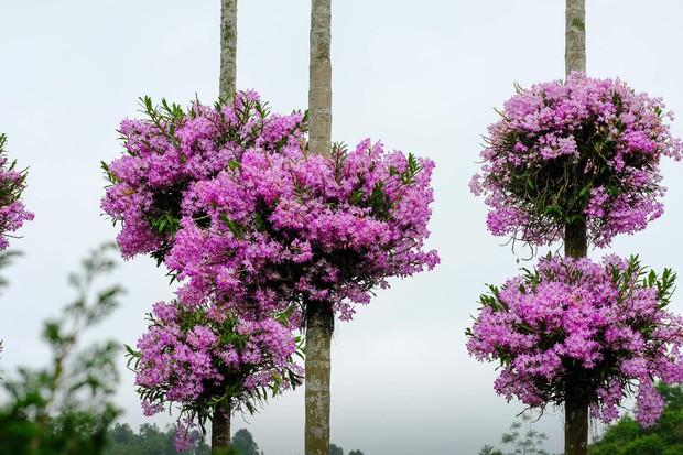 Cận cảnh vườn lan tím tuyệt đẹp treo trên hàng cây cau khiến ai cũng phải trầm trồ thích thú - Ảnh 4.
