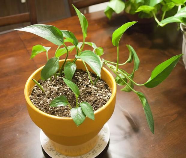 9 loại cây vẫn sống nhăn dù bạn quên tưới nước, người vụng mấy cũng trồng được - Ảnh 4.