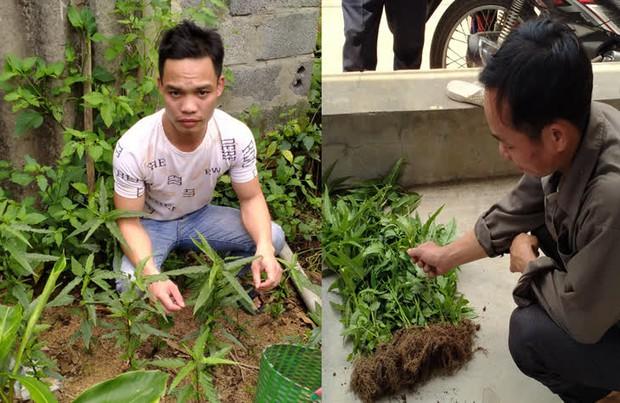 Nam Định: Xử lý 3 đối tượng trồng cần sa trái phép để... ngâm rượu và nuôi gà chọi - Ảnh 1.