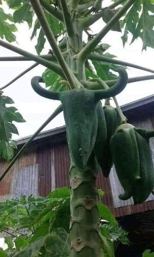 Trái đu đủ có số kiếp làm một bông hoa khiến gia chủ không tin vào mắt mình, đúng là loại quả thích biến hình nhất Việt Nam - Ảnh 4.
