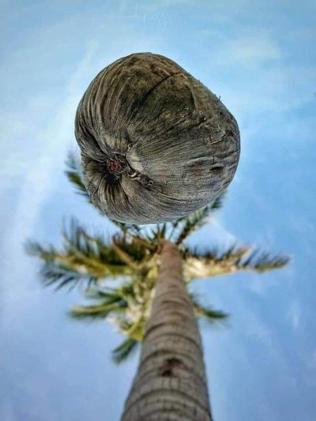 """Bức ảnh chụp """"góc hiểm"""" của cây dừa khiến thanh niên phải thay điện thoại mới đăng được lên Facebook: Đúng là hy sinh vì nghệ thuật! - Ảnh 1."""