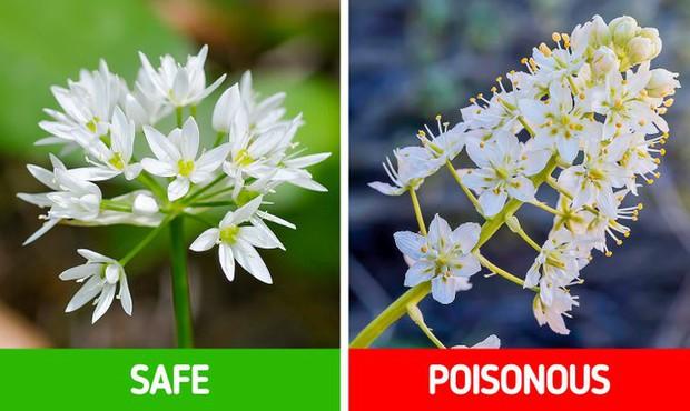 9 loài thực vật luôn khiến con người nhầm lẫn tai hại: Loại thì ăn được, loại lại có độc và cần né xa - Ảnh 7.