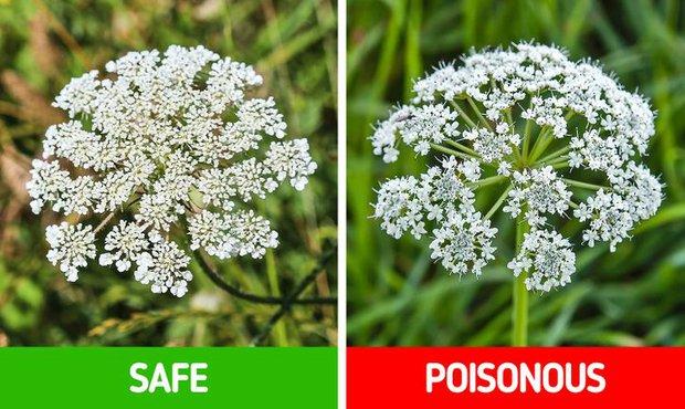9 loài thực vật luôn khiến con người nhầm lẫn tai hại: Loại thì ăn được, loại lại có độc và cần né xa - Ảnh 11.